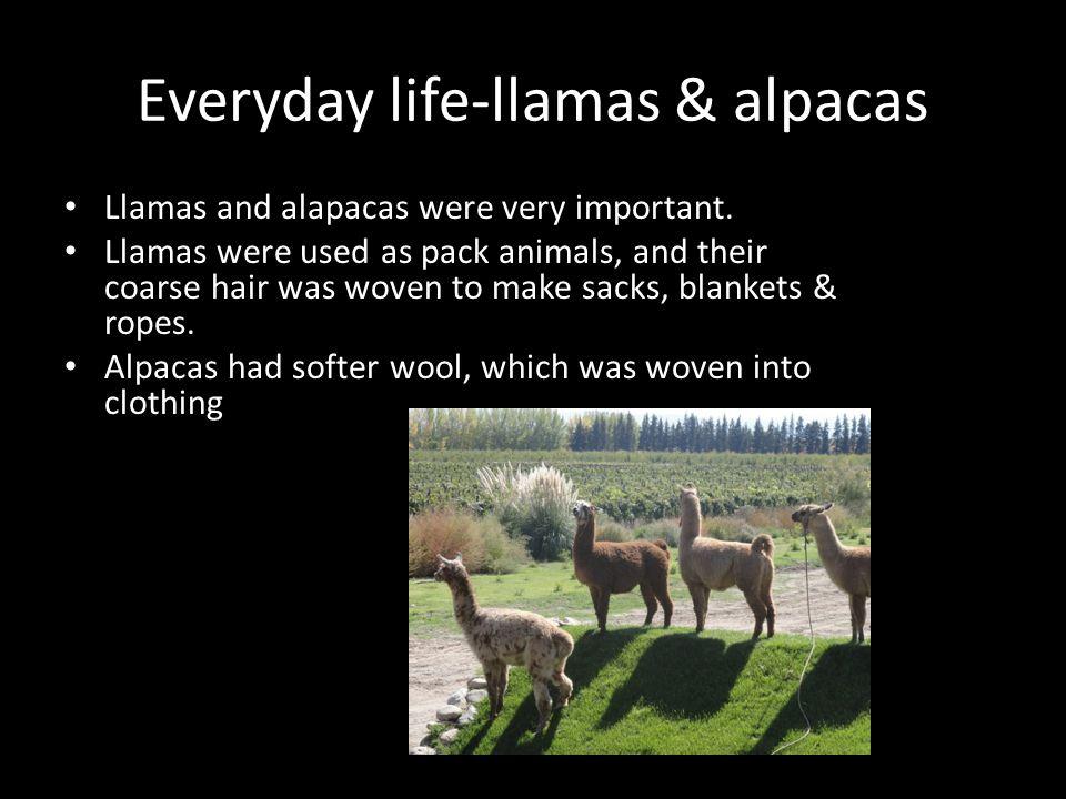 Everyday life-coca leaves Incas grew coca leaves as a sacred plant.