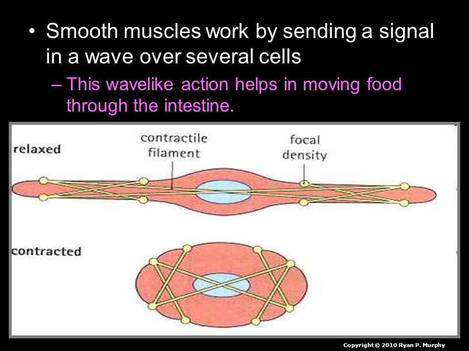 Smooth muscles work by sending a signal in a wave over several cells –This wavelike action helps in moving food through the intestine.