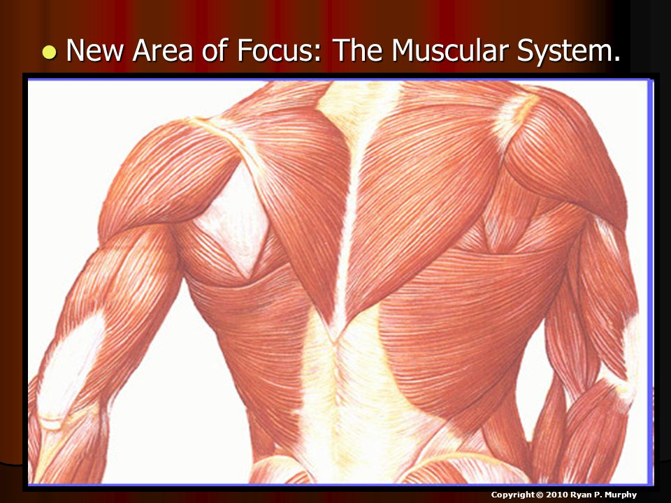 New Area of Focus: The Muscular System. New Area of Focus: The Muscular System.