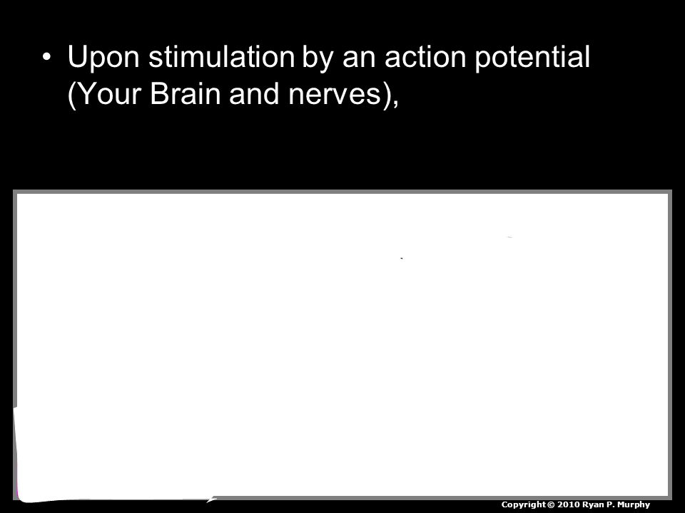 Upon stimulation by an action potential (Your Brain and nerves), Copyright © 2010 Ryan P. Murphy