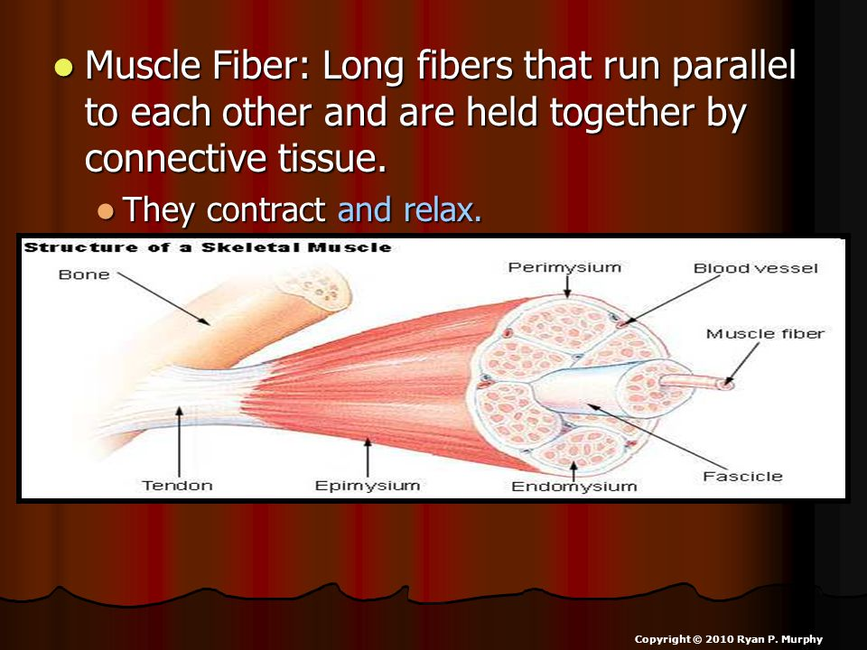 Muscle Fiber: Long fibers that run parallel to each other and are held together by connective tissue.