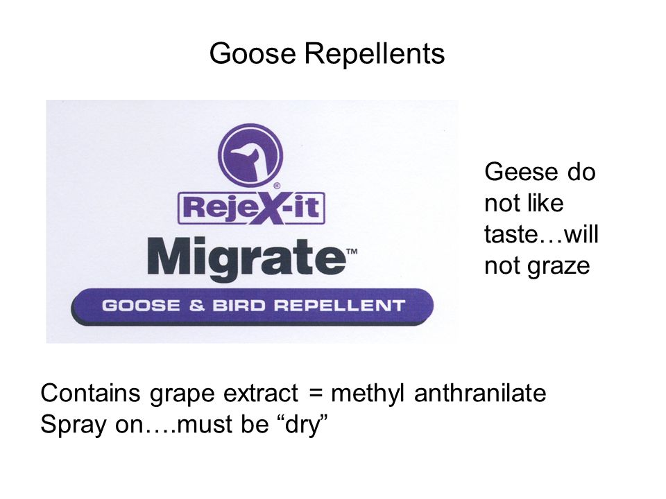Goose Repellents Contains grape extract = methyl anthranilate Spray on….must be dry Geese do not like taste…will not graze