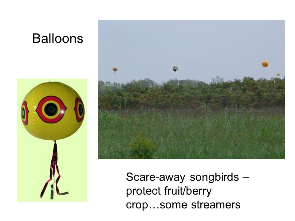 Scare-away songbirds – protect fruit/berry crop…some streamers Balloons