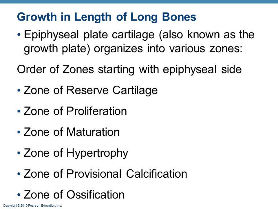 Copyright © 2010 Pearson Education, Inc. Growth in Length of Long Bones Epiphyseal plate cartilage (also known as the growth plate) organizes into var