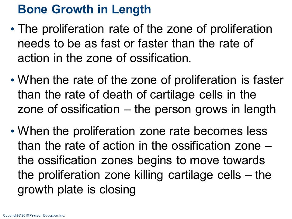 Copyright © 2010 Pearson Education, Inc. Bone Growth in Length The proliferation rate of the zone of proliferation needs to be as fast or faster than