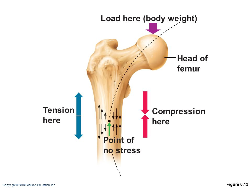 Copyright © 2010 Pearson Education, Inc. Figure 6.13 Load here (body weight) Head of femur Compression here Point of no stress Tension here