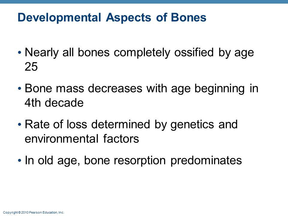 Copyright © 2010 Pearson Education, Inc.Estrogen and Bone Estrogen actions on bone are complex.