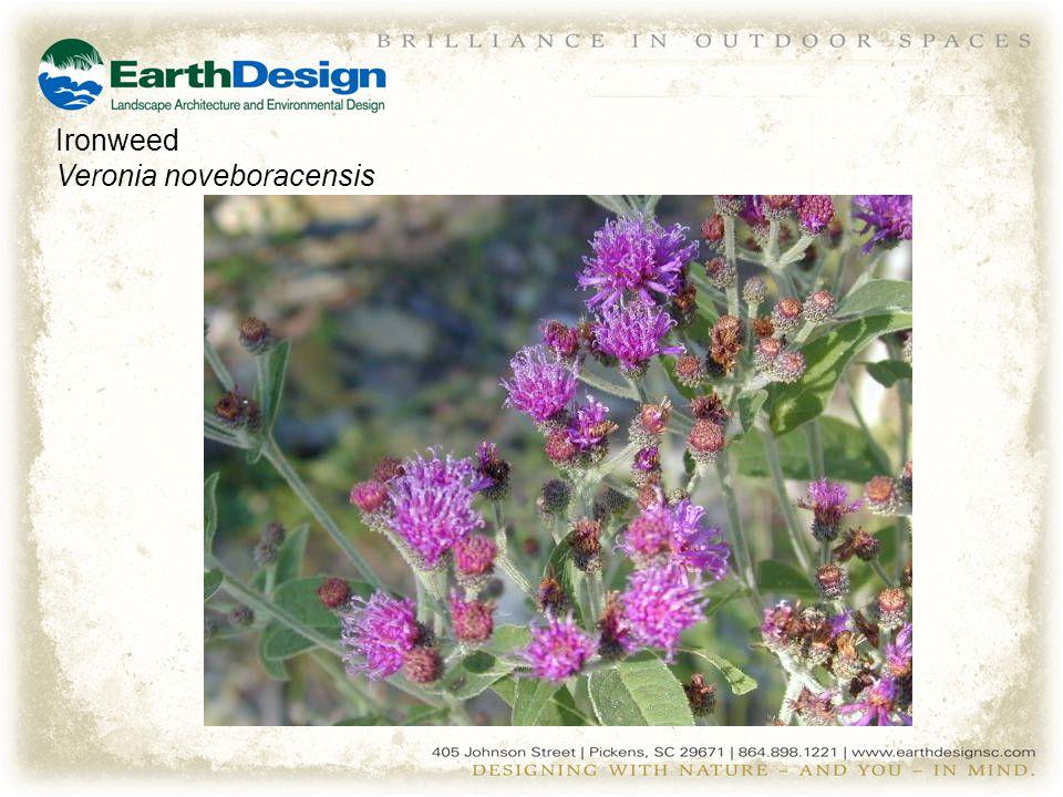 Ironweed Veronia noveboracensis