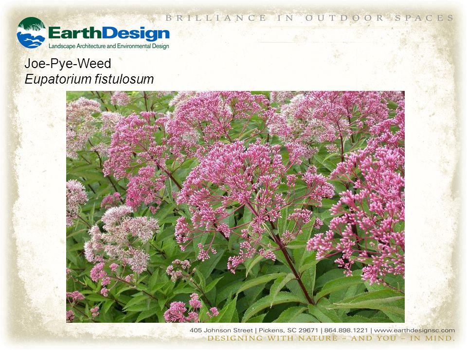 Joe-Pye-Weed Eupatorium fistulosum