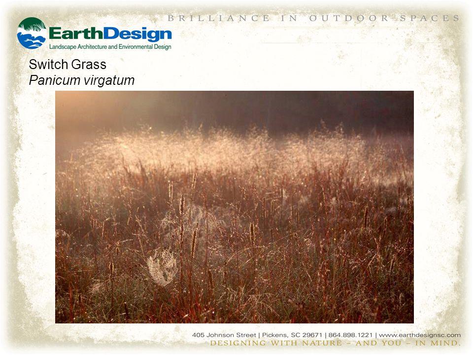 Switch Grass Panicum virgatum