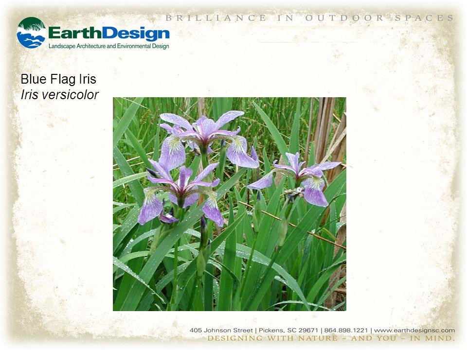 Blue Flag Iris Iris versicolor