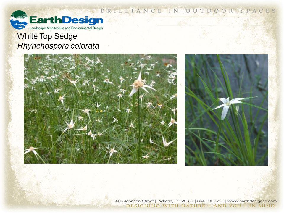 White Top Sedge Rhynchospora colorata