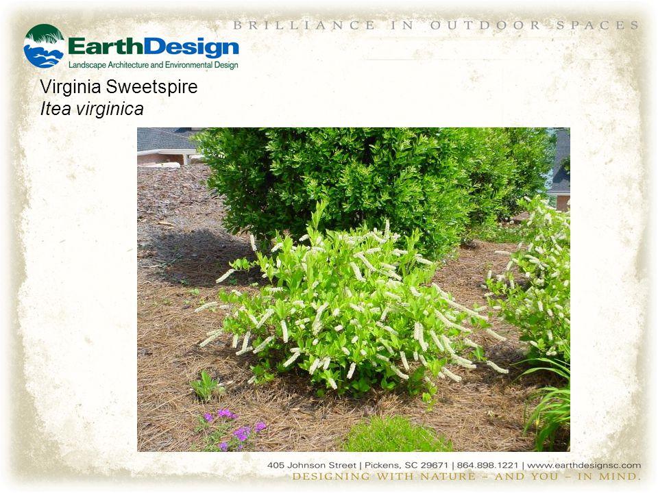 Virginia Sweetspire Itea virginica