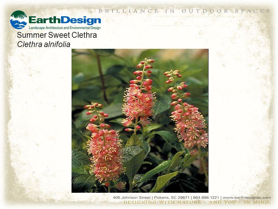 Summer Sweet Clethra Clethra alnifolia