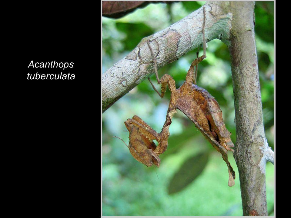 Acanthops tuberculata