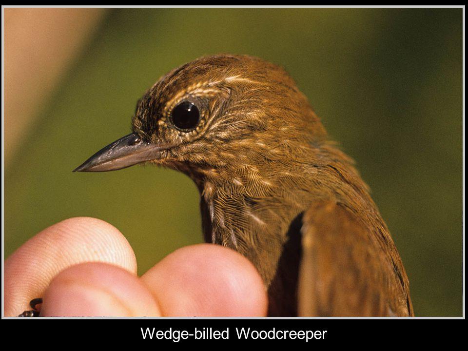 Wedge-billed Woodcreeper