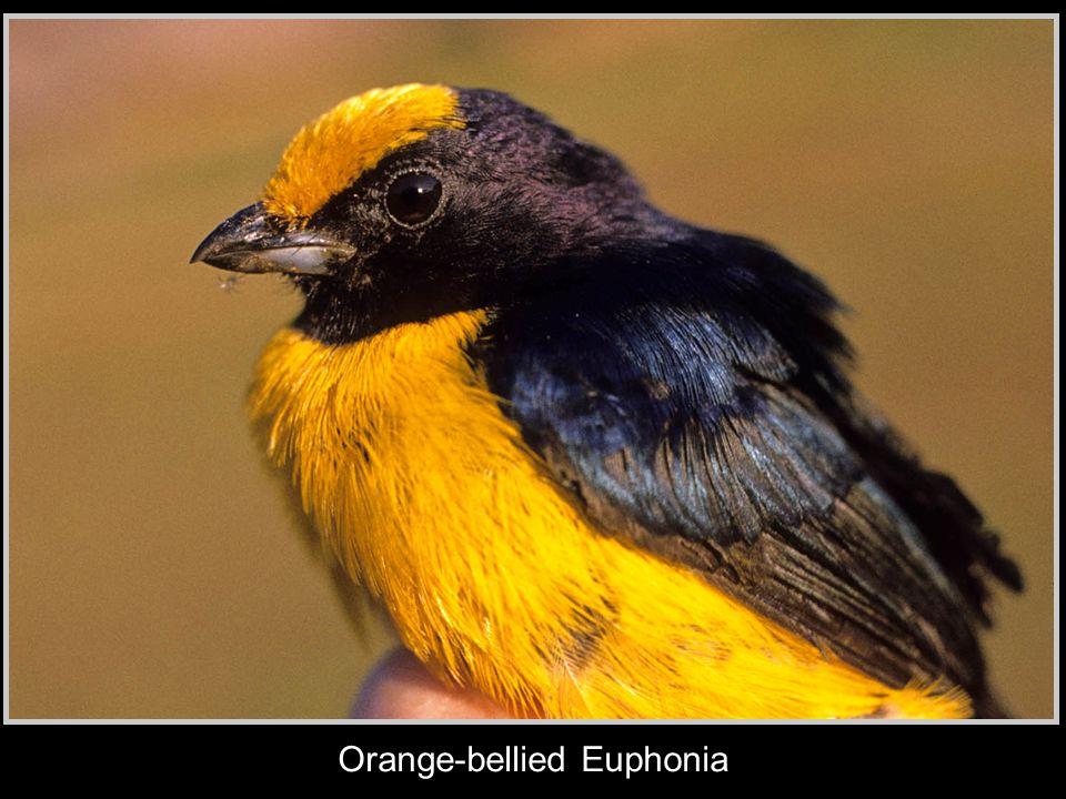 Orange-bellied Euphonia