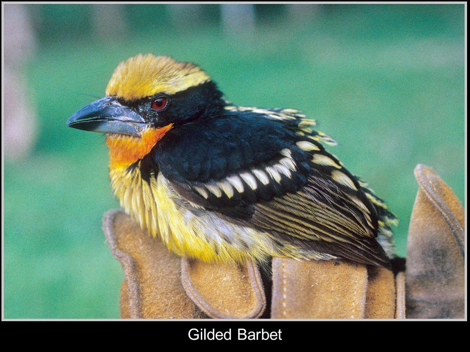 Gilded Barbet