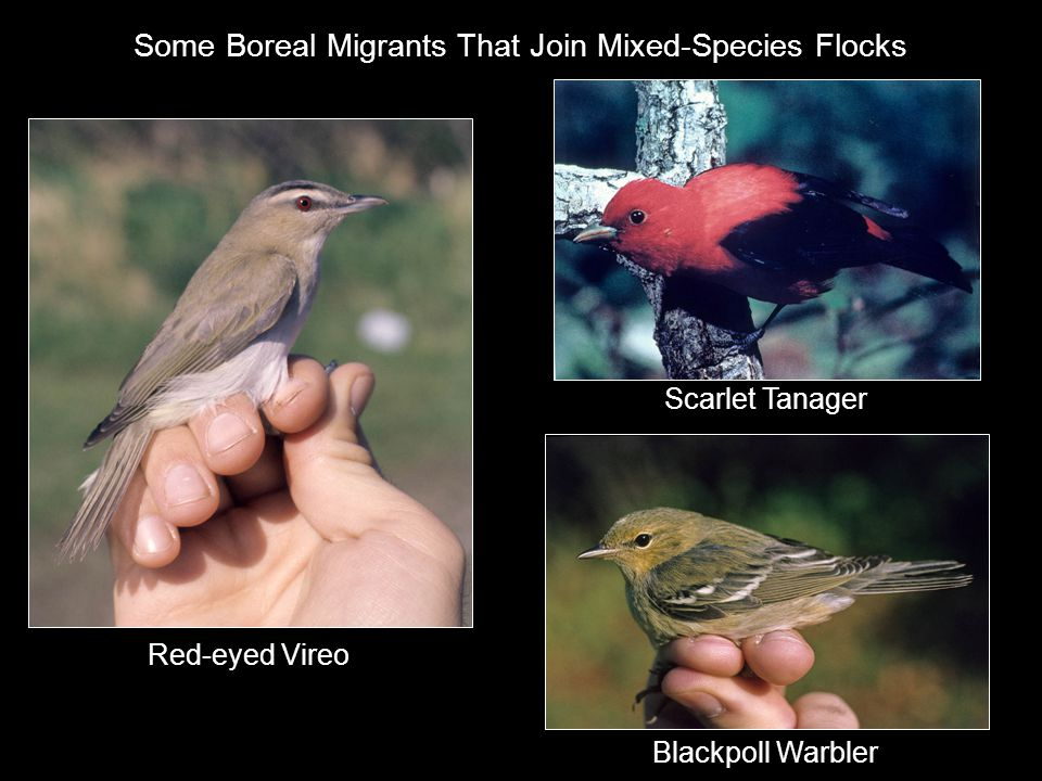 Some Boreal Migrants That Join Mixed-Species Flocks Blackpoll Warbler Scarlet Tanager Red-eyed Vireo