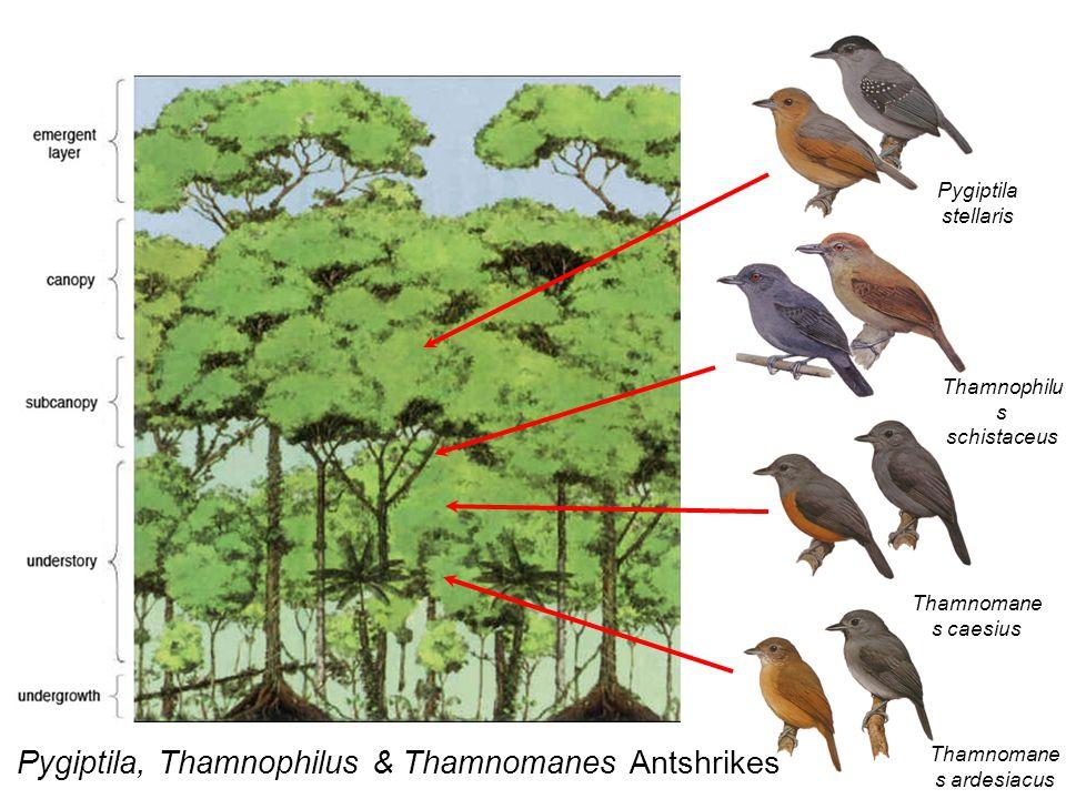 Pygiptila stellaris Thamnophilu s schistaceus Thamnomane s caesius Thamnomane s ardesiacus Pygiptila, Thamnophilus & Thamnomanes Antshrikes