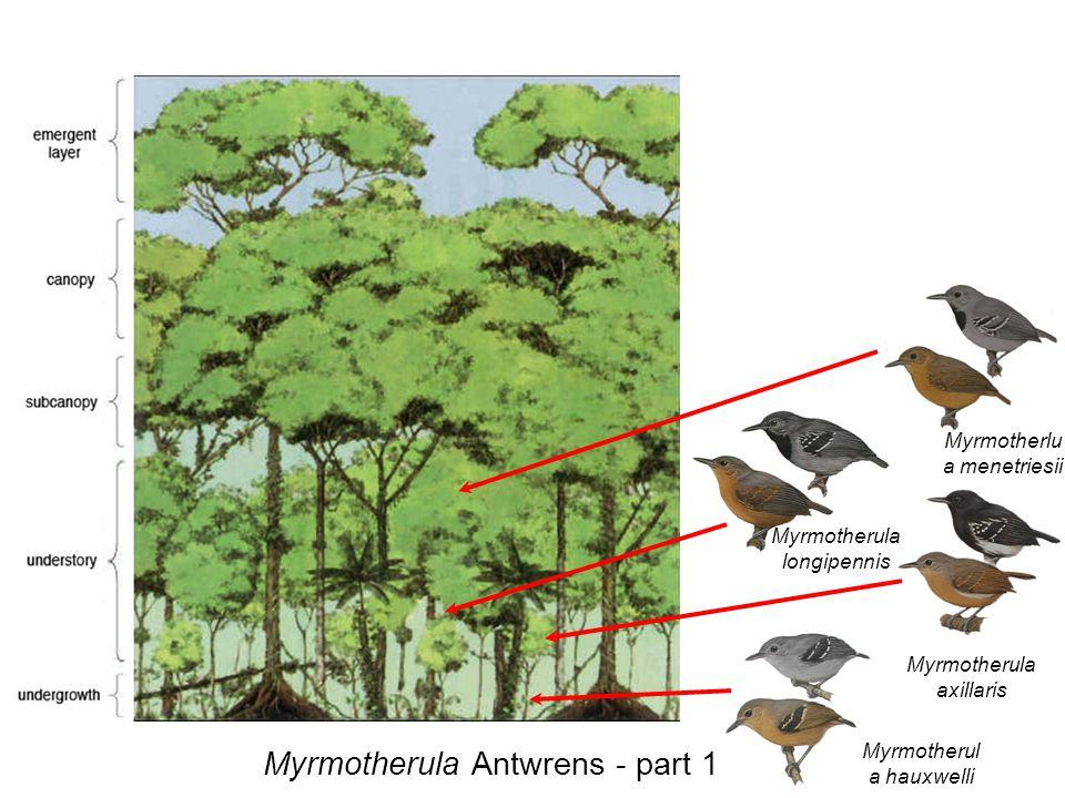 Myrmotherula axillaris Myrmotherula Antwrens - part 1 Myrmotherul a hauxwelli Myrmotherlu a menetriesii Myrmotherula longipennis