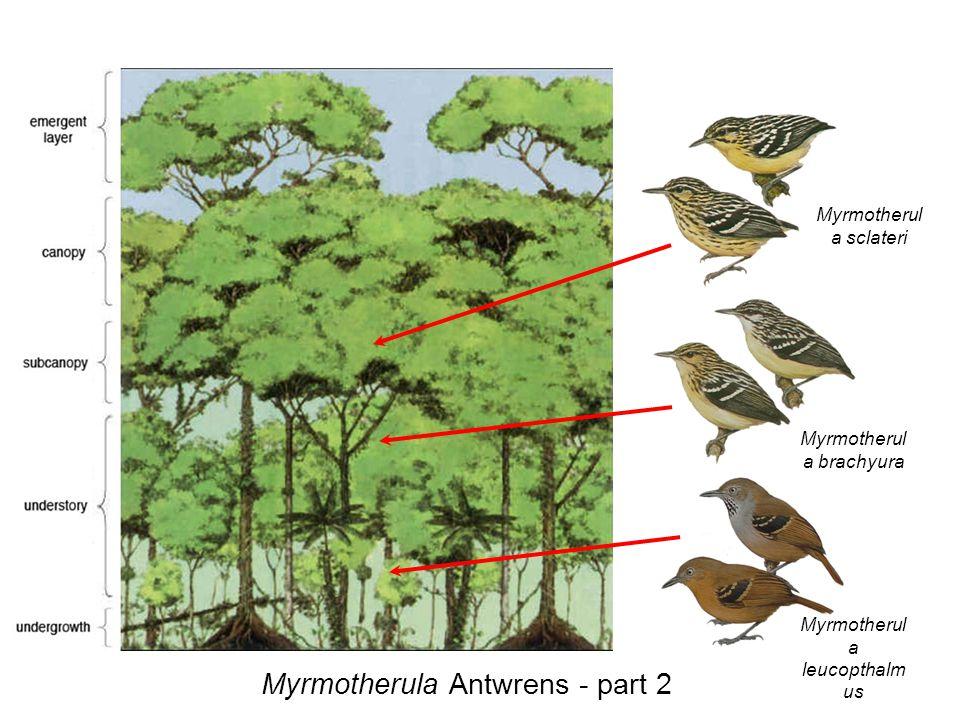 Myrmotherul a sclateri Myrmotherul a brachyura Myrmotherul a leucopthalm us Myrmotherula Antwrens - part 2