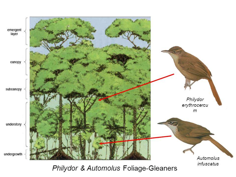 Philydor & Automolus Foliage-Gleaners Philydor erythrocercu m Automolus infuscatus