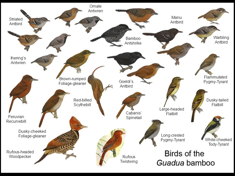 Ornate Antwren Ornate Antwren Warbling Antbird Striated Antbird Ornate Antwren Ihering's Antwren Peruvian Recurvebill Dusky-cheeked Foliage-gleaner Rufous-headed Woodpecker Red-billed Scythebill Brown-rumped Foliage-gleaner Bamboo Antshrike Warbling Antbird Manu Antbird Goeldi's Antbird Cabanis' Spinetail Large-headed Flatbill Dusky-tailed Flatbill Flammulated Pygmy-Tyrant White-cheeked Tody-Tyrant Long-crested Pygmy-Tyrant Rufous Twistwing