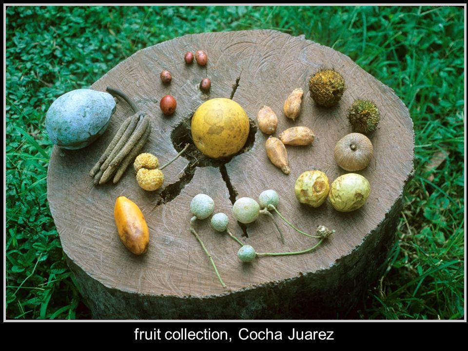 fruit collection, Cocha Juarez