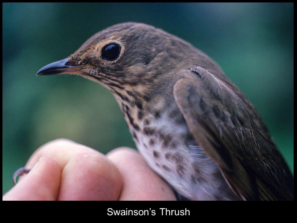 Swainson's Thrush