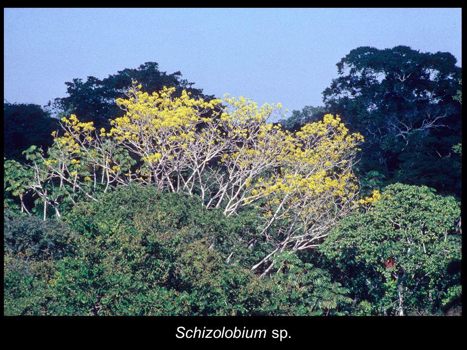 Schizolobium sp.