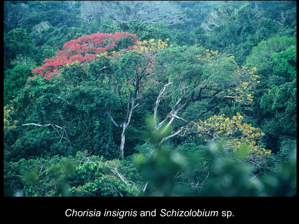 Chorisia insignis and Schizolobium sp.