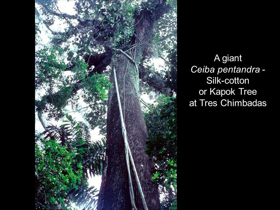 A giant Ceiba pentandra - Silk-cotton or Kapok Tree at Tres Chimbadas