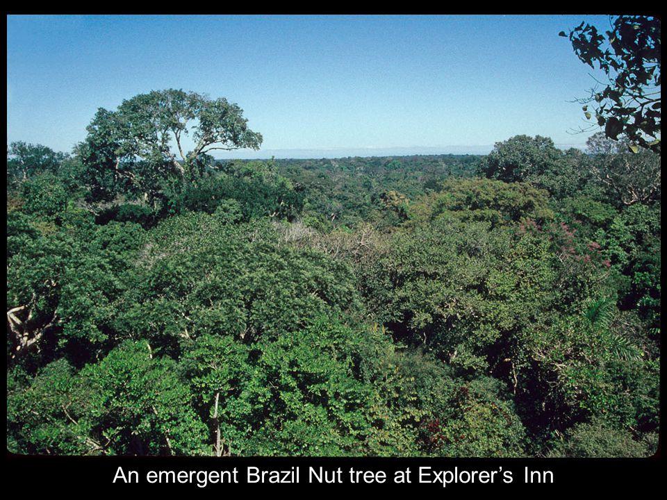 An emergent Brazil Nut tree at Explorer's Inn