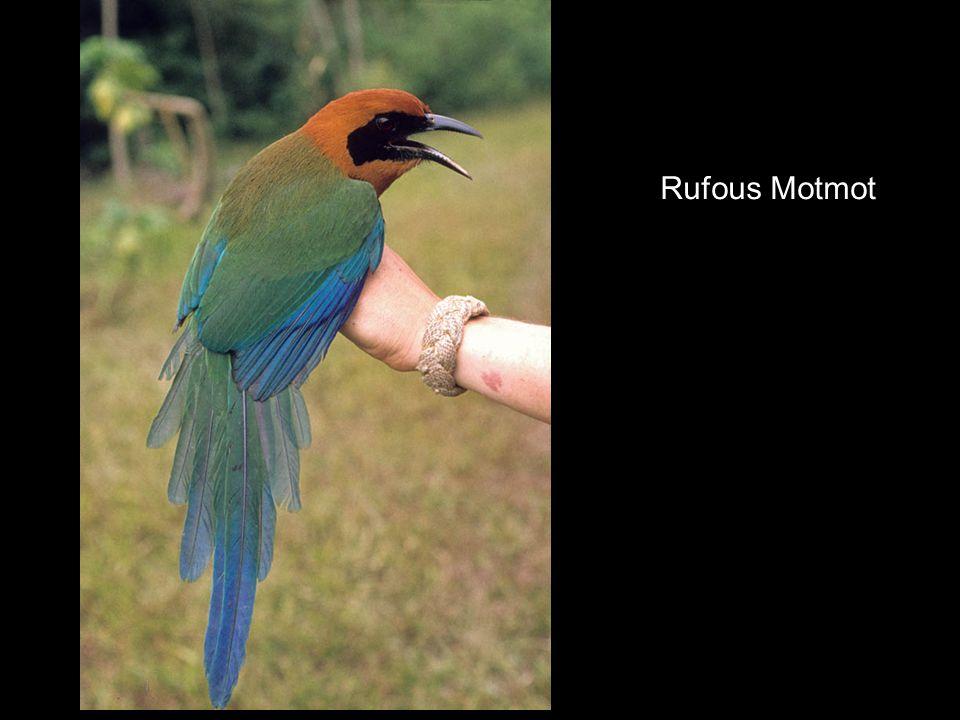 Rufous Motmot