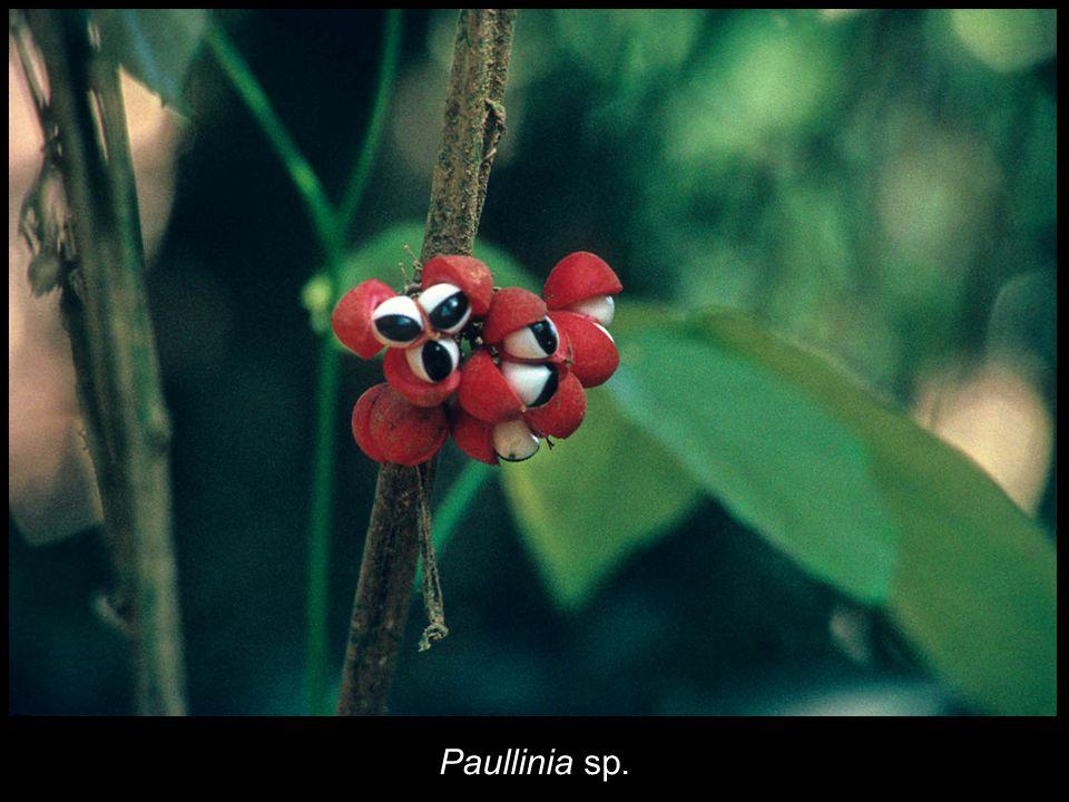 Paullinia sp.