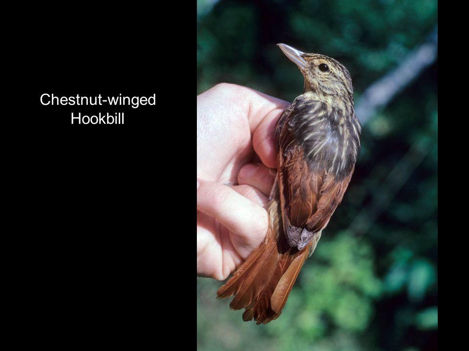 Chestnut-winged Hookbill