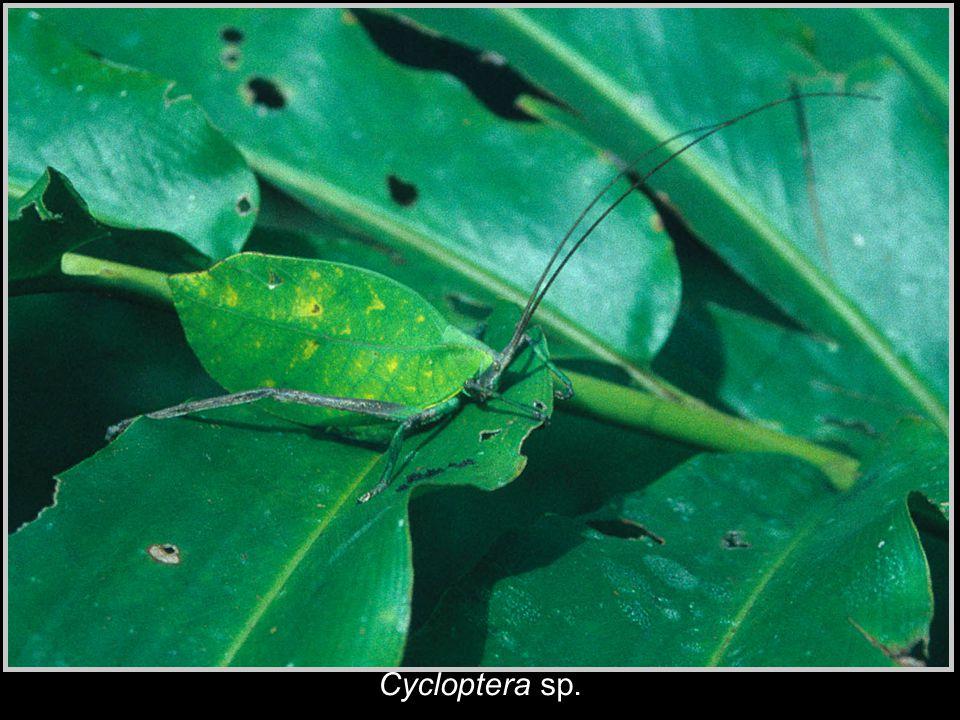 Cycloptera sp.