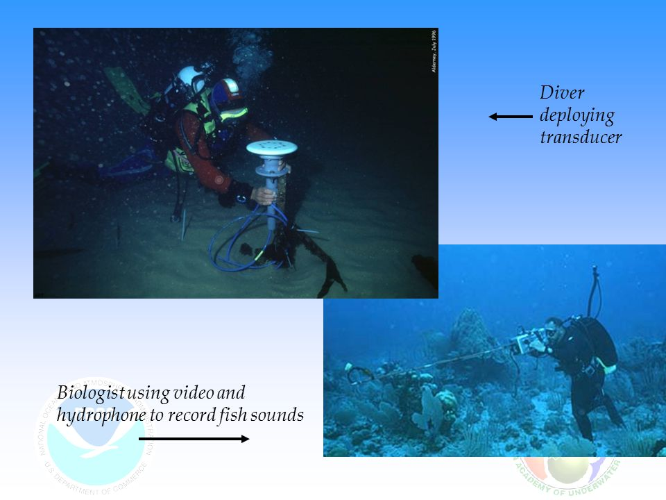 Biologist using video and hydrophone to record fish sounds Diver deploying transducer