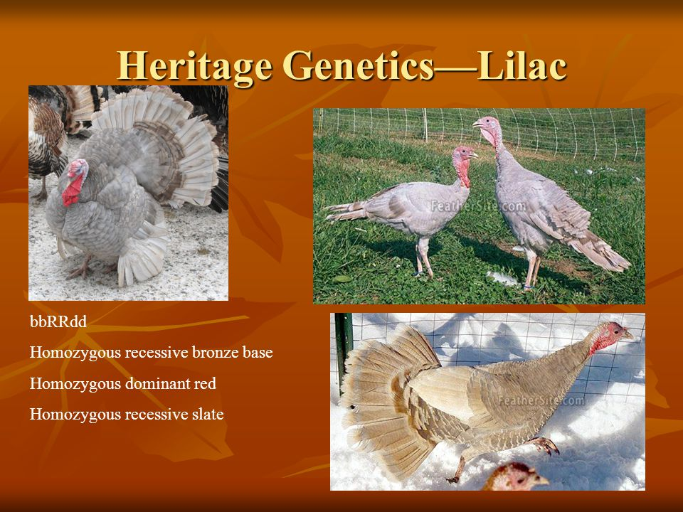Heritage Genetics—Lilac bbRRdd Homozygous recessive bronze base Homozygous dominant red Homozygous recessive slate