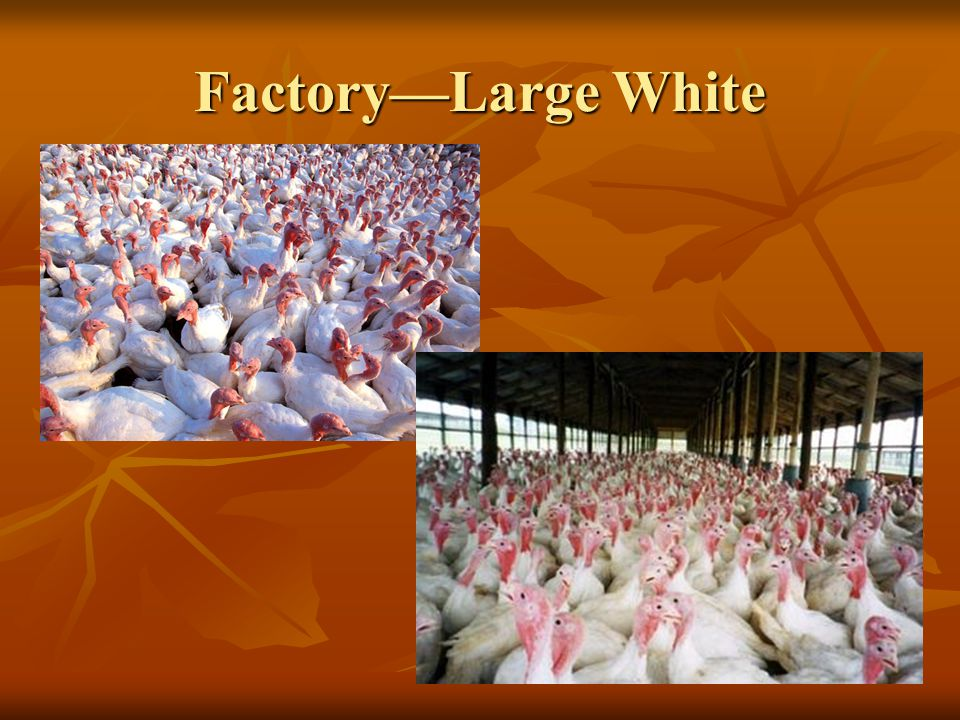 Factory—Large White