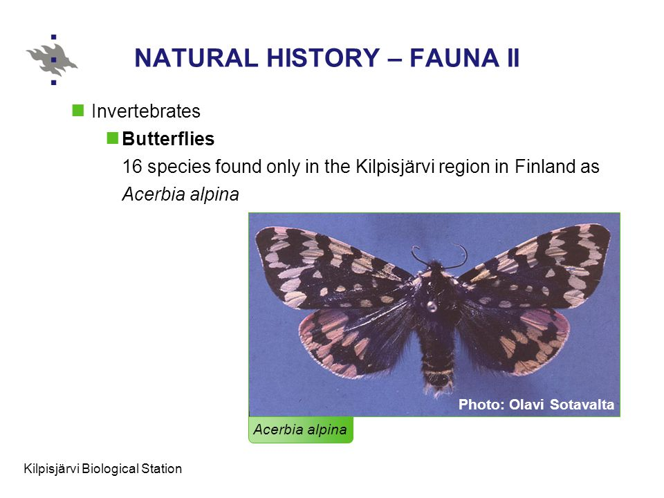 Kilpisjärvi Biological Station NATURAL HISTORY – FAUNA II Invertebrates Butterflies 16 species found only in the Kilpisjärvi region in Finland as Acerbia alpina Acerbia alpina Photo: Olavi Sotavalta