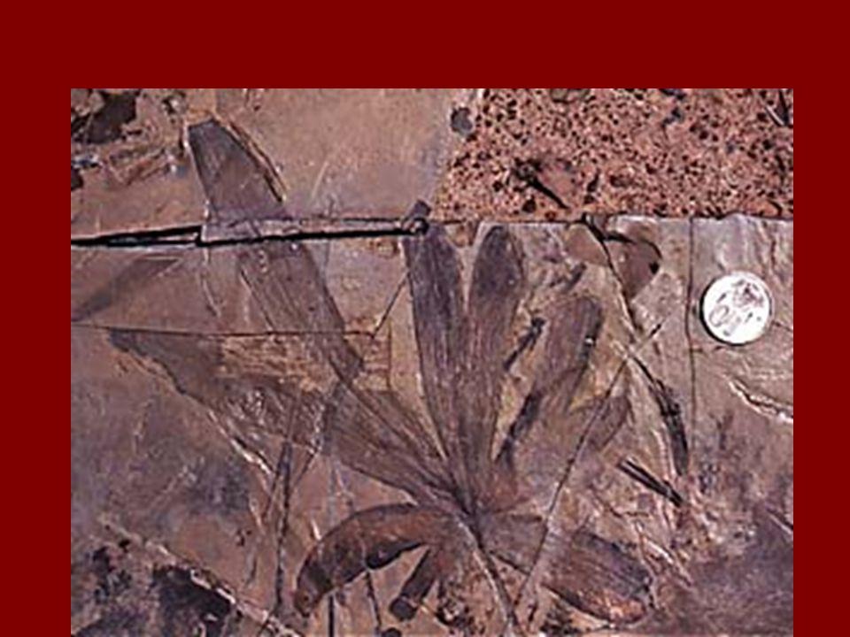 Ginko Fossil