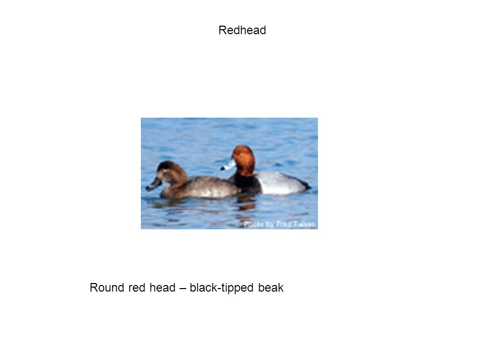 Redhead Round red head – black-tipped beak