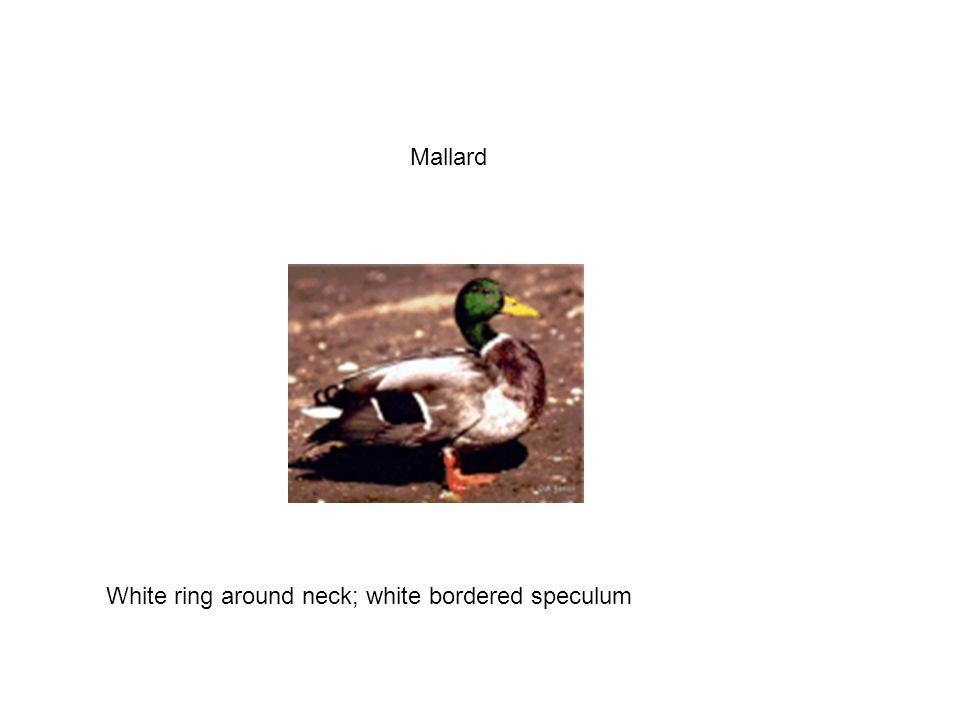 Mallard White ring around neck; white bordered speculum
