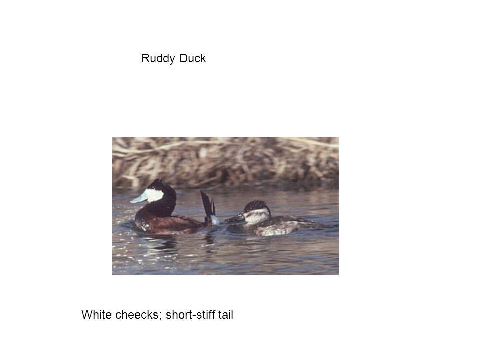 Ruddy Duck White cheecks; short-stiff tail