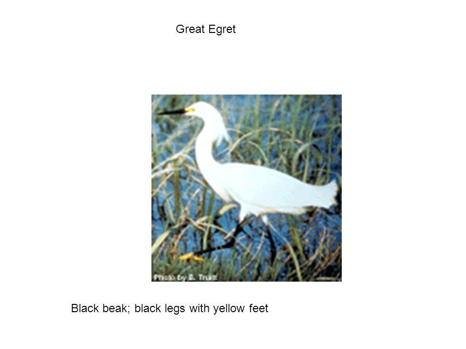 Great Egret Black beak; black legs with yellow feet