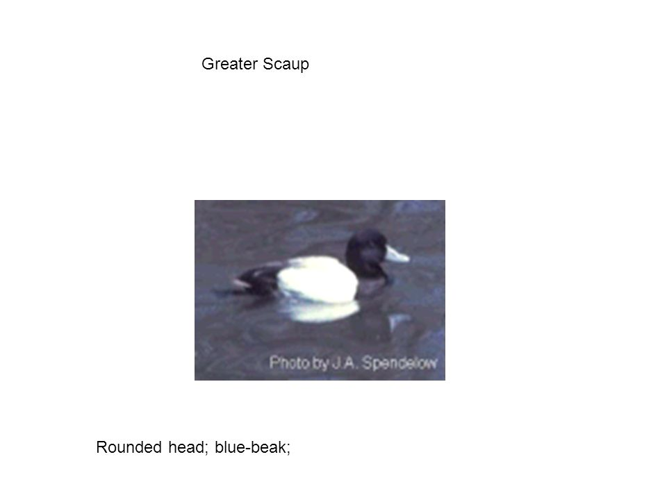 Greater Scaup Rounded head; blue-beak;