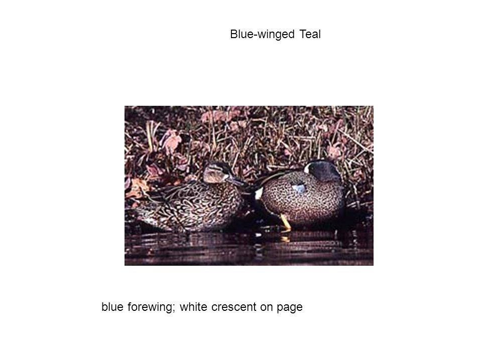 Blue-winged Teal blue forewing; white crescent on page