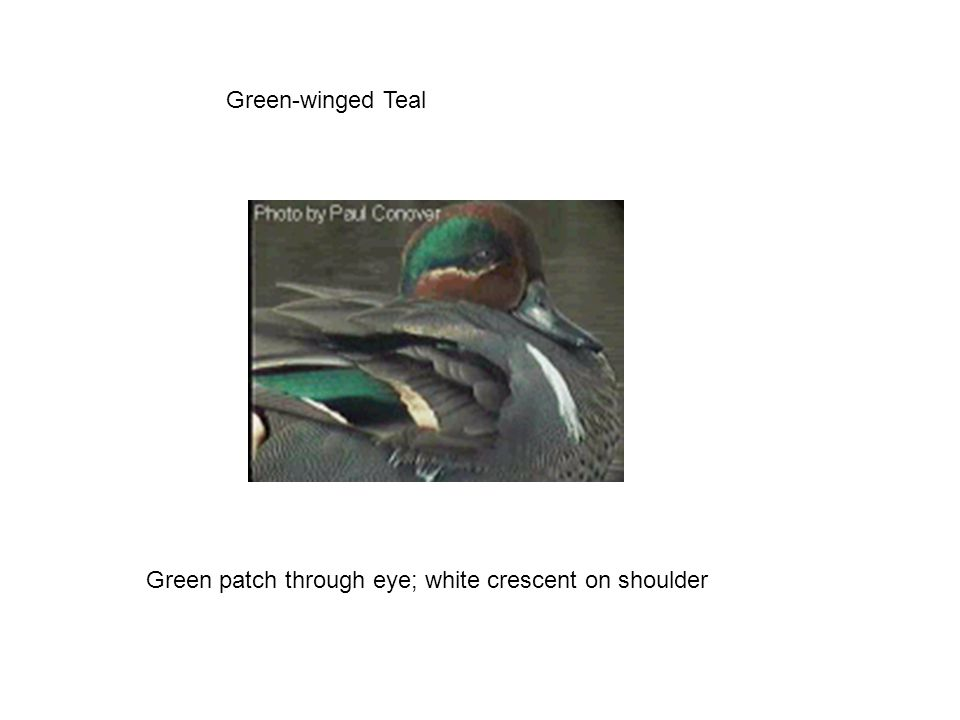 Green-winged Teal Green patch through eye; white crescent on shoulder
